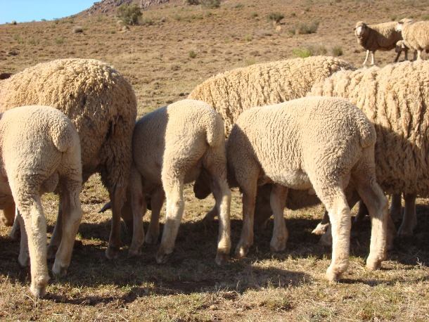 Dohne Merinos Prove To Be Reliable Under Natural Grazing Conditions Dohne Merino